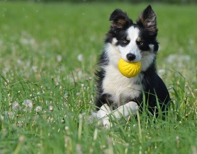 كلب الكولي صفاته واسعارة وتدريبة واكله