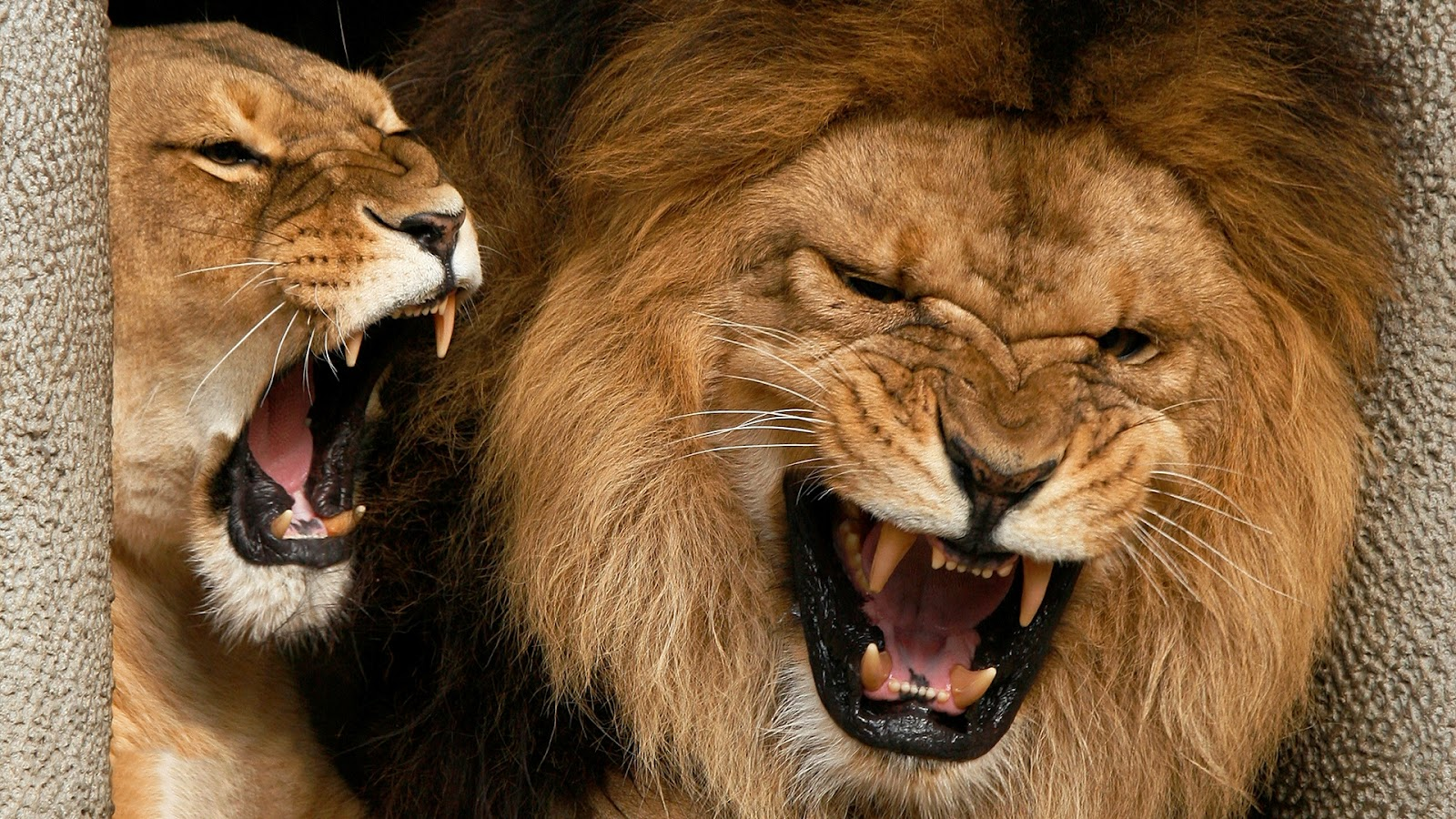 Angry Lions HD Wallpaper | Tontenk