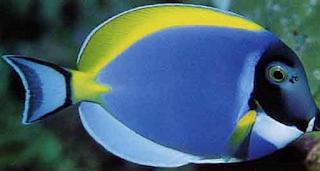 Botana Blue Tang