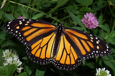 Binatang Berwarna Unik ( Monarch Butterfly )