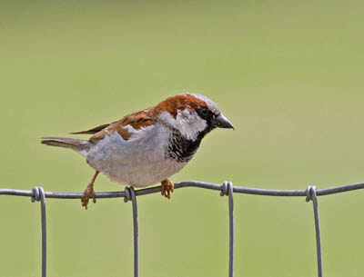 Photo of a House Sparrow on a wire fence