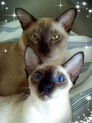 Burmese and Siamese by Oramor