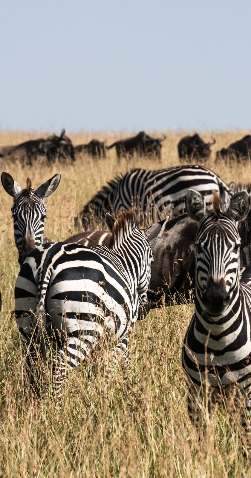 Zebras on the savanna plains.