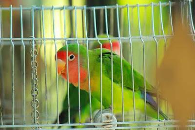 طائر الحب فيشر الاسعار والتغذية معلومات عامة