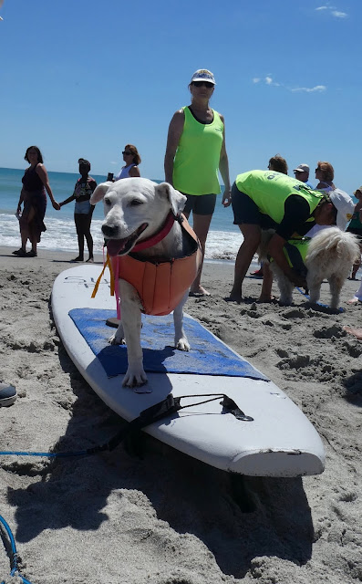 Fat Pig Jack Russell contestant cocoa beach surfing championship
