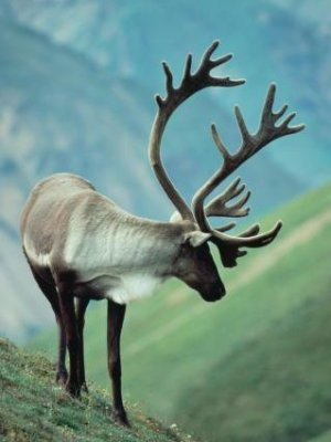 Reindeer is that they're are of the species Rangifer tarandus.