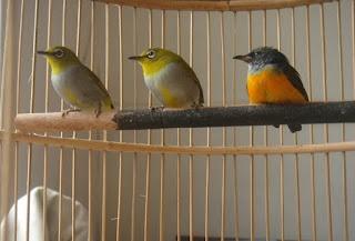 Ternak-Burung-Pleci