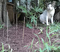 Kucing Takut Sama Bekas Tusuk  Sate Yang Menancap Di tanah
