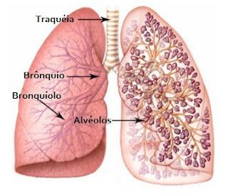 esquema pulmao traqueia bronquio bronquiolo alveolos
