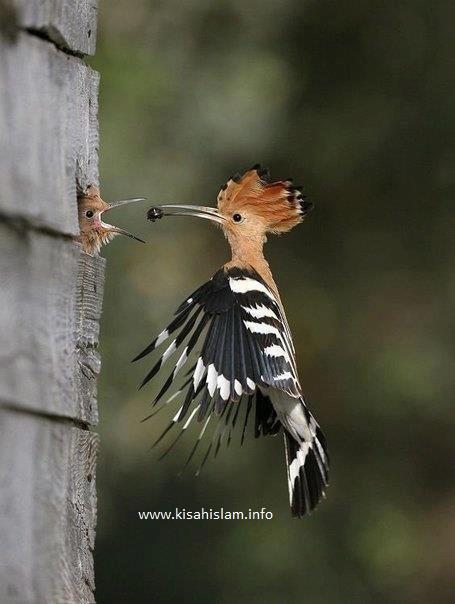 Kisah Nabi Sulaiman A S Dengan Burung Hud Hud Kisahislam Info