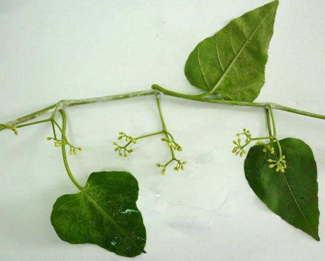 Dây Chìa Vôi - Cissus modeccoides - Nguyên liệu làm thuốc Chữa Tê Thấp và Đau Nhức