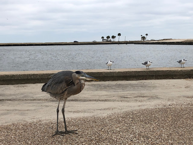 great blue heron and seagulls