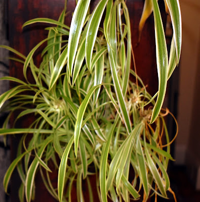 https://www.reviewthisreviews.com/2021/02/the-spider-plant-as-houseplant-reviewed.html