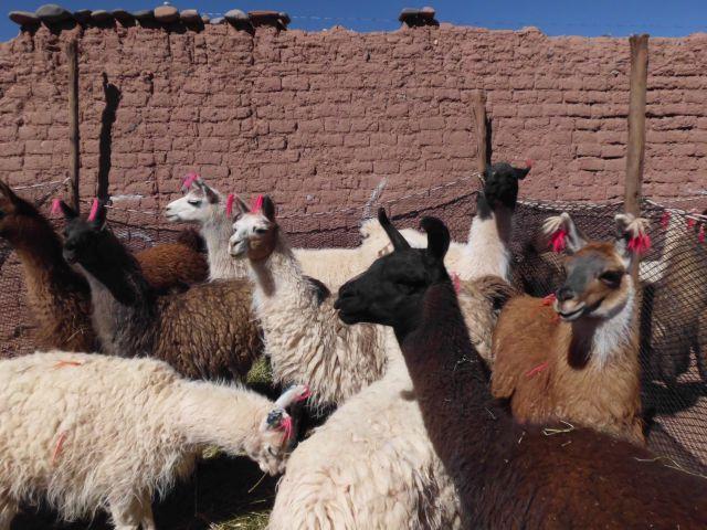 Lamas überall