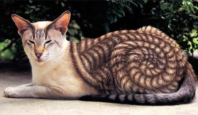 kut kucing