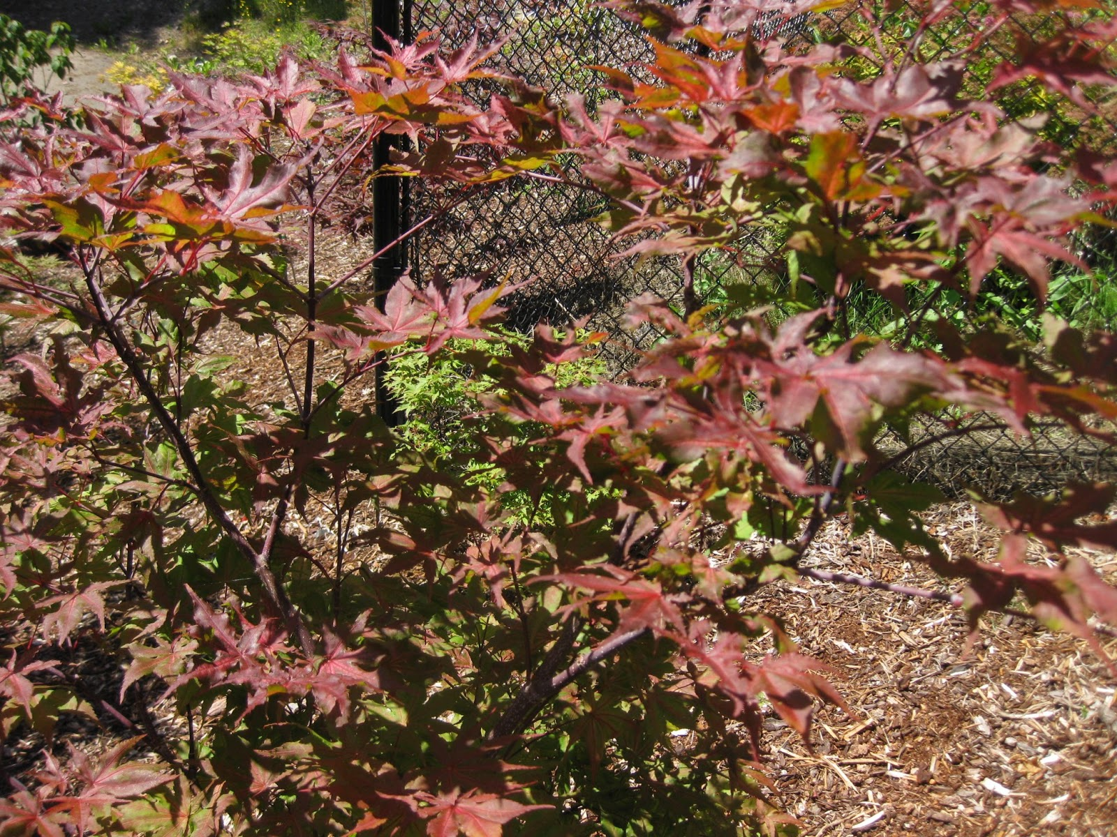 Marys Maples Acer Palmatum Amber Ghost