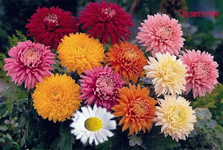 chrysanthemum flower, chrysanthemum