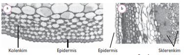 Materi ajar ipa Jaringan TUmbuhan : Epidermis, Parenkim, Kolenkim, Sklerenkim, Xilem, Floem dan fungsi fungsinya disertai gambar
