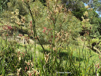 Kangaroo paw plant - Wellington Botanic Garden, New Zealand