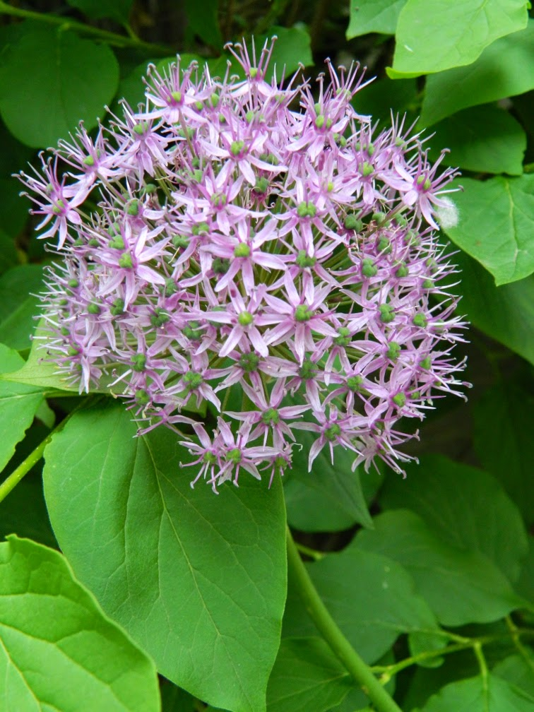 Allium  Globemaster by garden muses-not another Toronto gardening blog