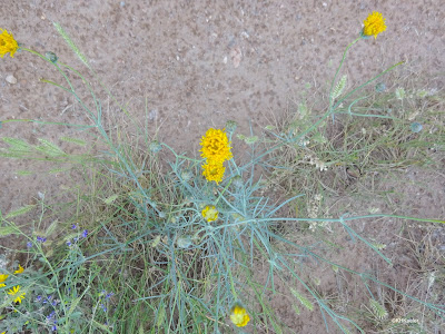 Hopi tea greenthread beside the trail