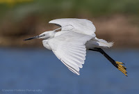 Little Egret in flight at Woodbridge Island.