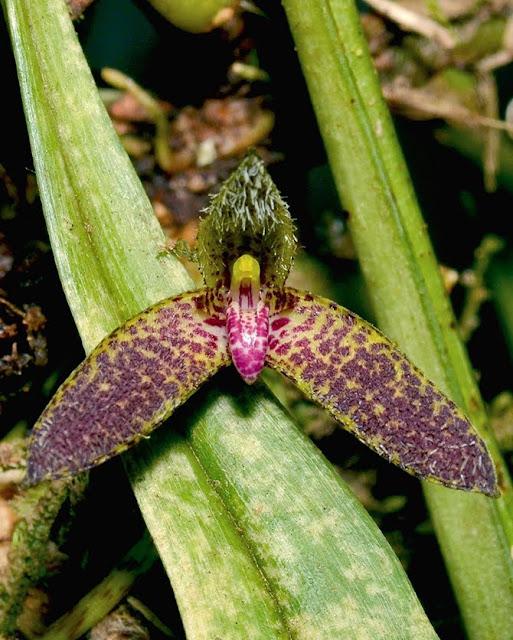 Bulbophyllum hians