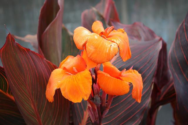 Golden canna flower image