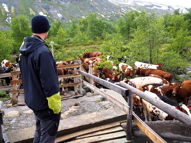 krávy, Martin, stádo, jezero, Gjende, Jotunheimen, Norsko
