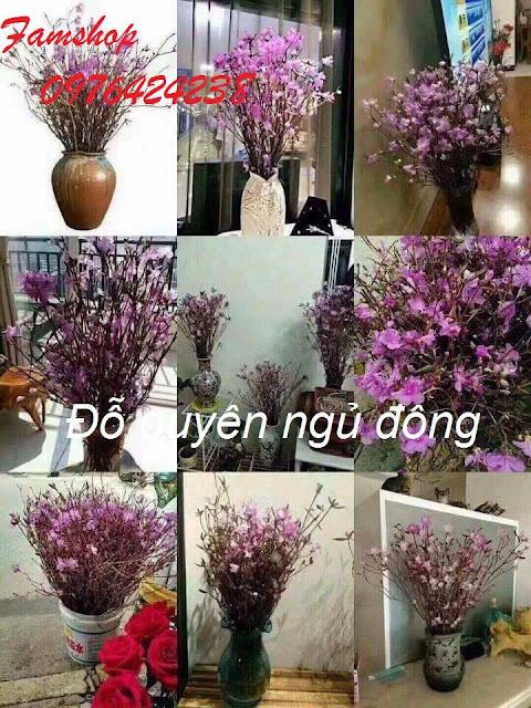 Hoa do quyen ngu dong tai Gia Lam