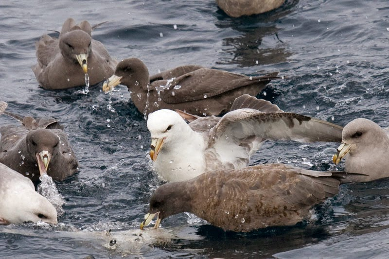 Oregon Pelagic Tours: Northern Fulmar. Greg Gillson.