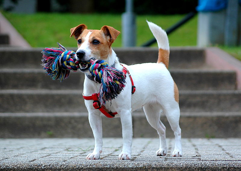 Lifespan of Jack Russell. How Long do Jack Russell live?