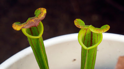 Two pitcher plants