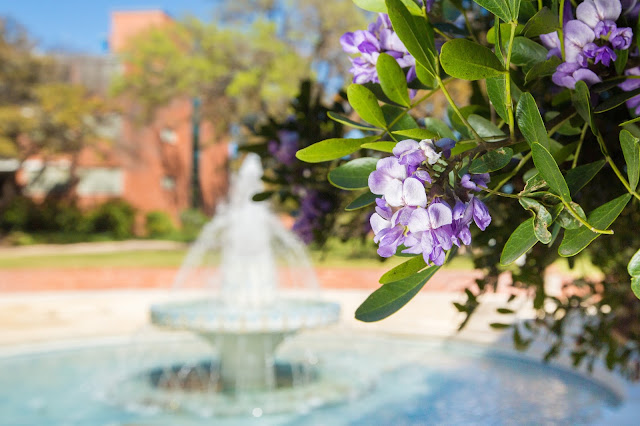 Miller Fountain at Trinity University with mountain laurels