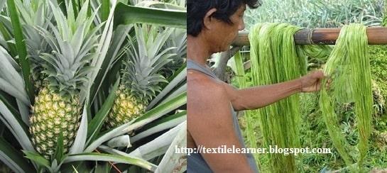 Pineapple leaf fibre