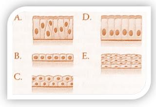 Jawaban Soal PG Biologi Buku Erlangga Kelas XI Bab 3 Struktur dan Fungsi Jaringan Hewan