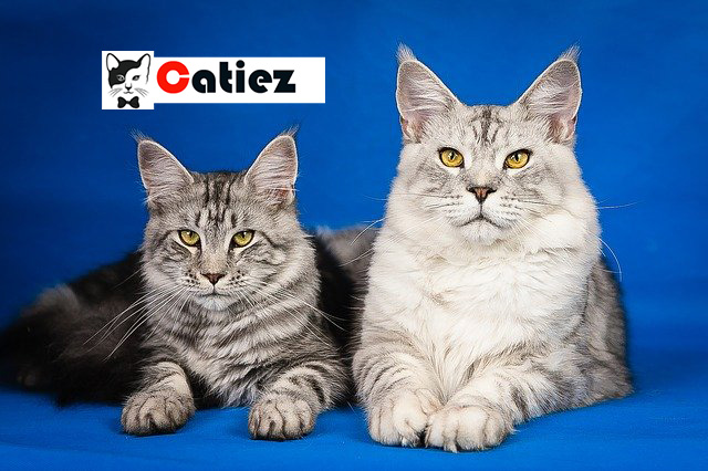 maine coon cat - all you want to know about maine coon cats