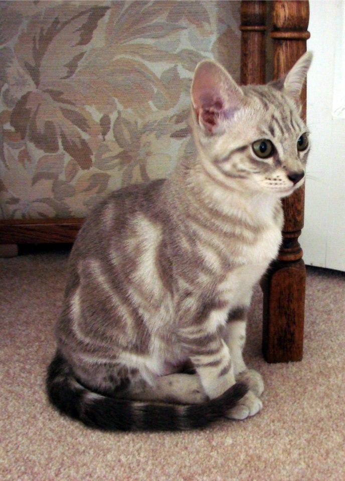 Healthiana Australian Mist cat
