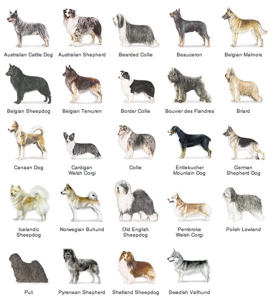 Dog Breeds Akc Breed List