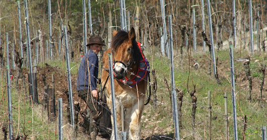 Matinée traction animale 3ème édition - Pulling horses working in the vineyard