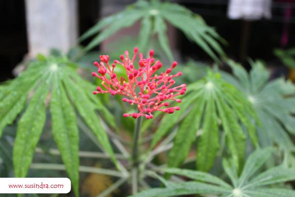 morfologi-bunga-yodium-atau-jarak-cina