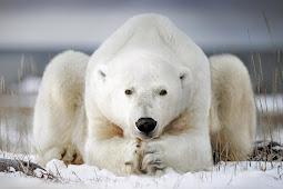 ホッキョクグマ可愛い写真 Polar Bear Cute Photo 2