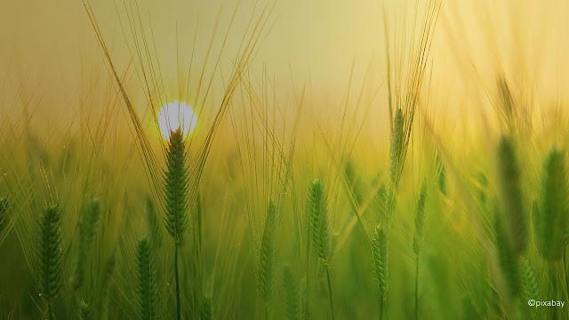 épi de blé sous le soleil levant
