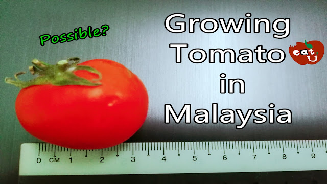 Can You Grow Tomato in Malaysia?