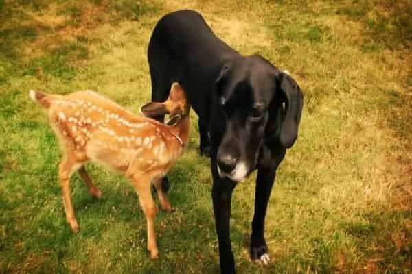 Wild Deer Keeps Visiting Terrific Dane In Spite Of Living Completely Different Lives