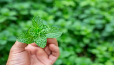 13 Manfaat Daun Mint Untuk Kesehatan Tubuh Kita