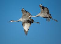 Sandhill cranes in Bosque del Apache National Wildlife Refuge, New Mexico,USA – photo by Manjith Kainickara