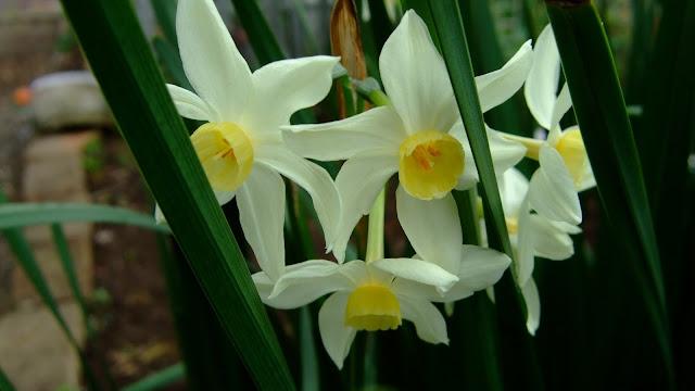 花びらが白く、中心部が黄色い水仙の花
