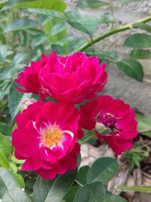 Hoa hồng tầm xuân màu đỏ