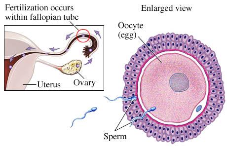 Thuốc tránh thai ngăn chặn sự rụng trứng và thụ tinh